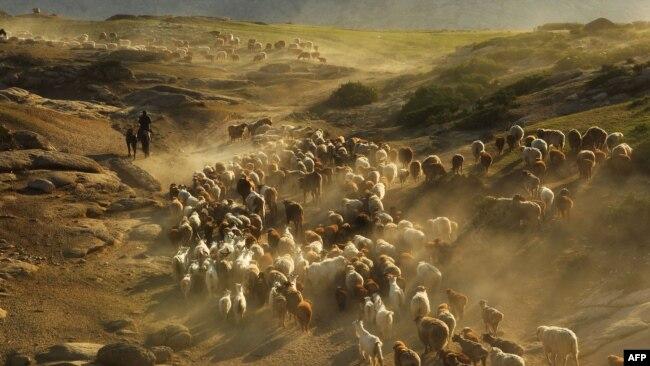 Қытайдың Алтай аймағында мал айдап бара жатқан қазақ. Шыңжаң, 2 маусым 2012 жыл. (Көрнекі сурет.)