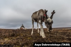 Детеныш оленя на пастбище, Ямало-Ненецкий автономный округ