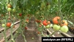 Armenia -- A tomato farm, undated