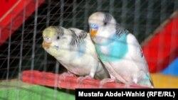 طيور زينة للبيع في احد اسواق كربلاء