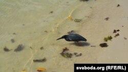 Малая прыбярэжная чапля