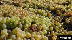 Сбор урожая винограда. Архивно-иллюстративное фото