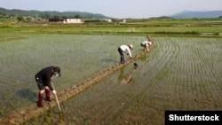 Рисовое поле, Южная Корея