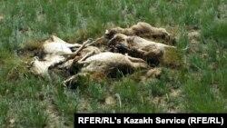 Незахороненные туши мертвых сайгаков недалеко от аула Кабырга Костанайской области. 8 июня 2015 года.