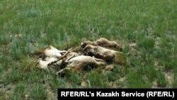 Қостанай облысындағы Қабырға ауылы маңында жатқан киік өлекселері. 8 маусым 2015 жыл.