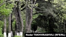 Высаженный несколько десятков лет назад Дигомский лесопарк из–за реликтовых пород деревьев был внесен в Красную книгу Грузии
