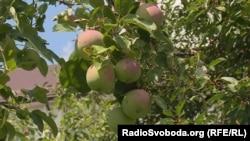 Врожай у саду Левка Лук'яненка