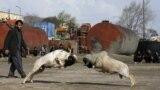 Խոյամարտ Քաբուլում (Reuters/Omar Sobhani)