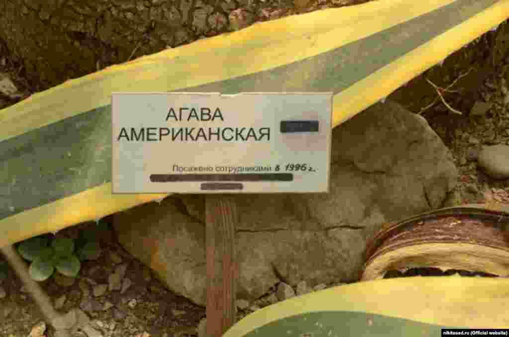 Американскую агаву выращивают как комнатное растение и используют в цветочных композициях с другими суккулентами