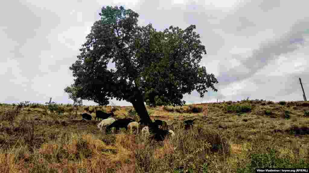 Козы пасутся под одиноким деревом