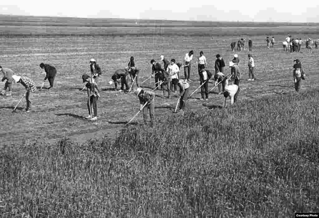 Егіс алқабында жұмыс істеп жүрген мектеп оқушылары мен мұғалімдер. Советтік Қазақстан, 1970 жылдар.