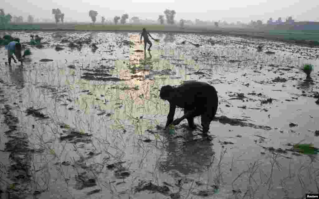 Workers plant rice seedlings in a flooded paddy field outside Faisalabad, Pakistan. (Reuters/Fayyaz Hussain)