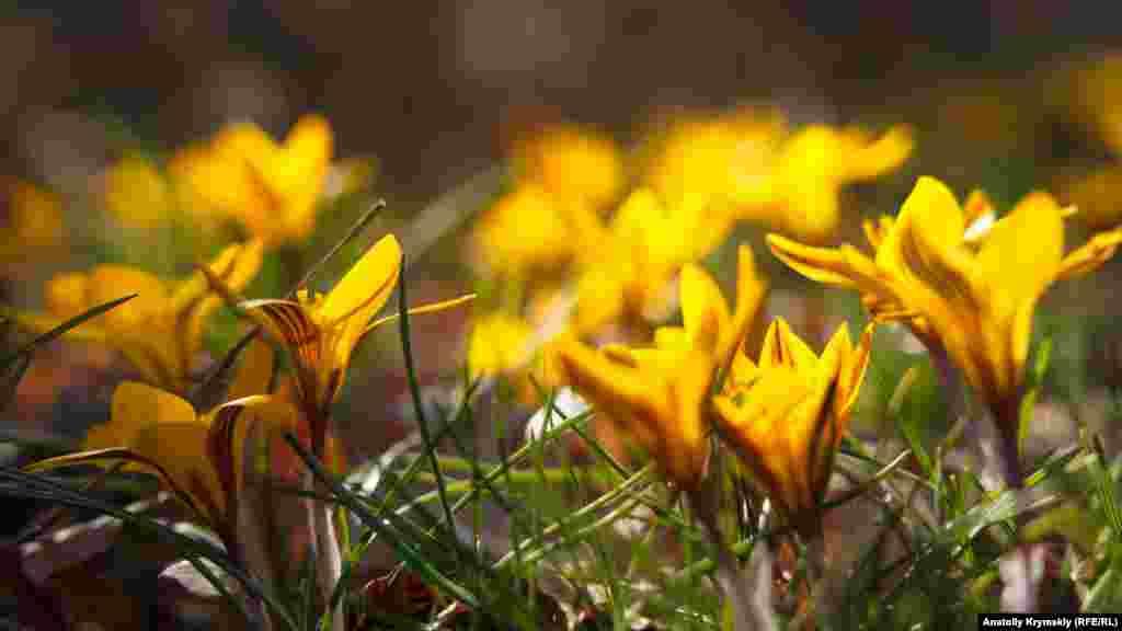 На вершині Аю-Дага є невеликі галявини з жовтим шафраном. Згідно з історичними джерелами, шафран набув поширення під час мінойської цивілізації (Егейська цивілізація бронзового століття острова Крит 2700-1400 рр. до н. е.) з грецького острова Крит. До Європи був завезений під час Хрестових походів у 1096-1270 роки, а потім поширився на заході Середземномор'я. Лікувальні властивості рослини відомі з китайських медичних книг, датованих 2600 р. до н.е.
