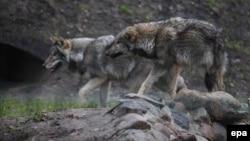 Волки. Иллюстрационное фото