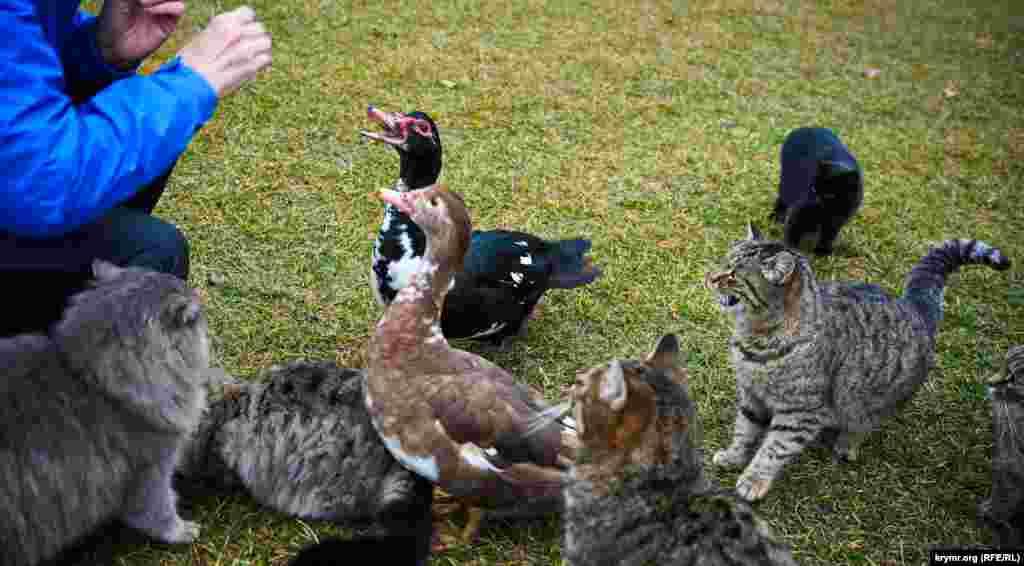 Паркові коти та качки змагаються між собою за шматочки батону