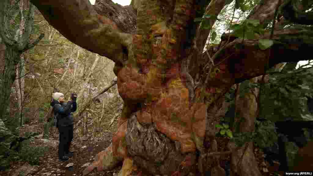 Цьому суничнику на схилі Ай-Нікола понад 1300 років. Найстарші представники цього виду виростають тільки в Мексиці і країнах Середземноморського басейну