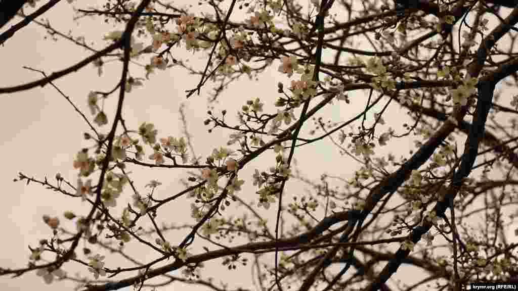 Першою з плодових дерев на Південному узбережжі Криму вийшла «на старт» алича. У Сімеїзі, наприклад, вона зацвіла ще наприкінці лютого