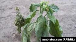 Illýustrasiýa suraty. Türkmenistanda ösdürilen temmäki ösümligi