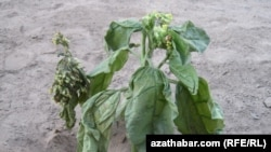 Türkmenistanda ekilen temmäki, 2011-nji ýylyň awgust aýy.