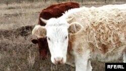 Крупный рогатый скот в подсобном хозяйстве в селе Узынколь Западно-Казахстанской области.