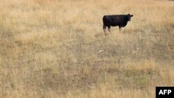 A cow feeds in a drought-damaged pasture as temperatures climb near Princeton, Indiana.