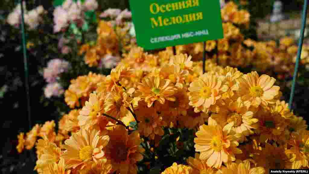 Загалом на виставці представлено 333 найкращих сортів з колекції хризантем Нікітського ботанічного саду, включаючи 40 голландських сортів, які демонструються вперше
