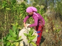 In Kyrgyzstan, a girl collects tobacco leaves (ILO courtesy photo)