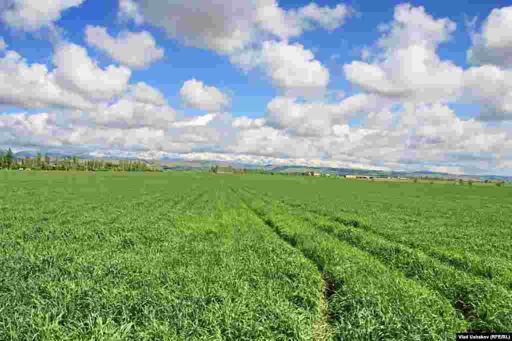 Хорошие всходы дала озимая пшеница из первосортных семян, полученных фермерами по линии ФАО