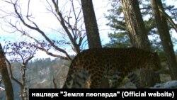 """Леопард Всеволод из приморского нацпарка """"Земля леопарда"""""""