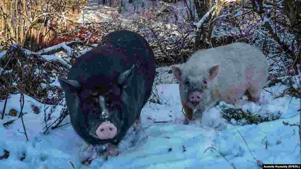Під його стінами бродять домашні в'єтнамські свинки