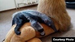 Муравьед Мурашка. Фото калининградского зоопарка