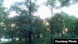 Черемшу собирают в лесах с февраля до середины марта