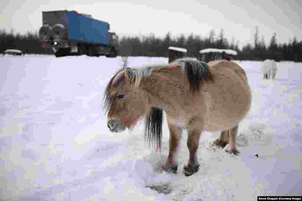 Many animals in the region, such as the Yakutian horse (pictured), are able to survive outside through bone-cracking cold. Yakutian horses roam semiwild through the winters and dig through the snow with their hooves to nibble at the grass below.