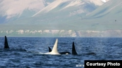 One of the photos taken by the researchers who first sighted the white orca, or killer whale, with fellow members of a pod off Kamchatka (FEROP photo by E.Lazareva)