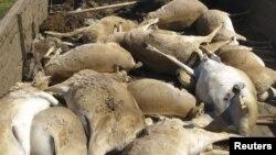 Туши сайгаков, погибших в Западно-Казахстанской области.