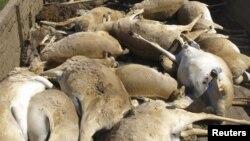 Трупы сайгаков, собранные ветеринарами в Западно-Казахстанской области. 22 мая 2010 года.