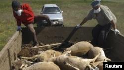 Қырылған киікті жинап жүрген адамдар. Батыс Қазақстан, 22 мамыр 2010 жыл (Көрнекі сурет).