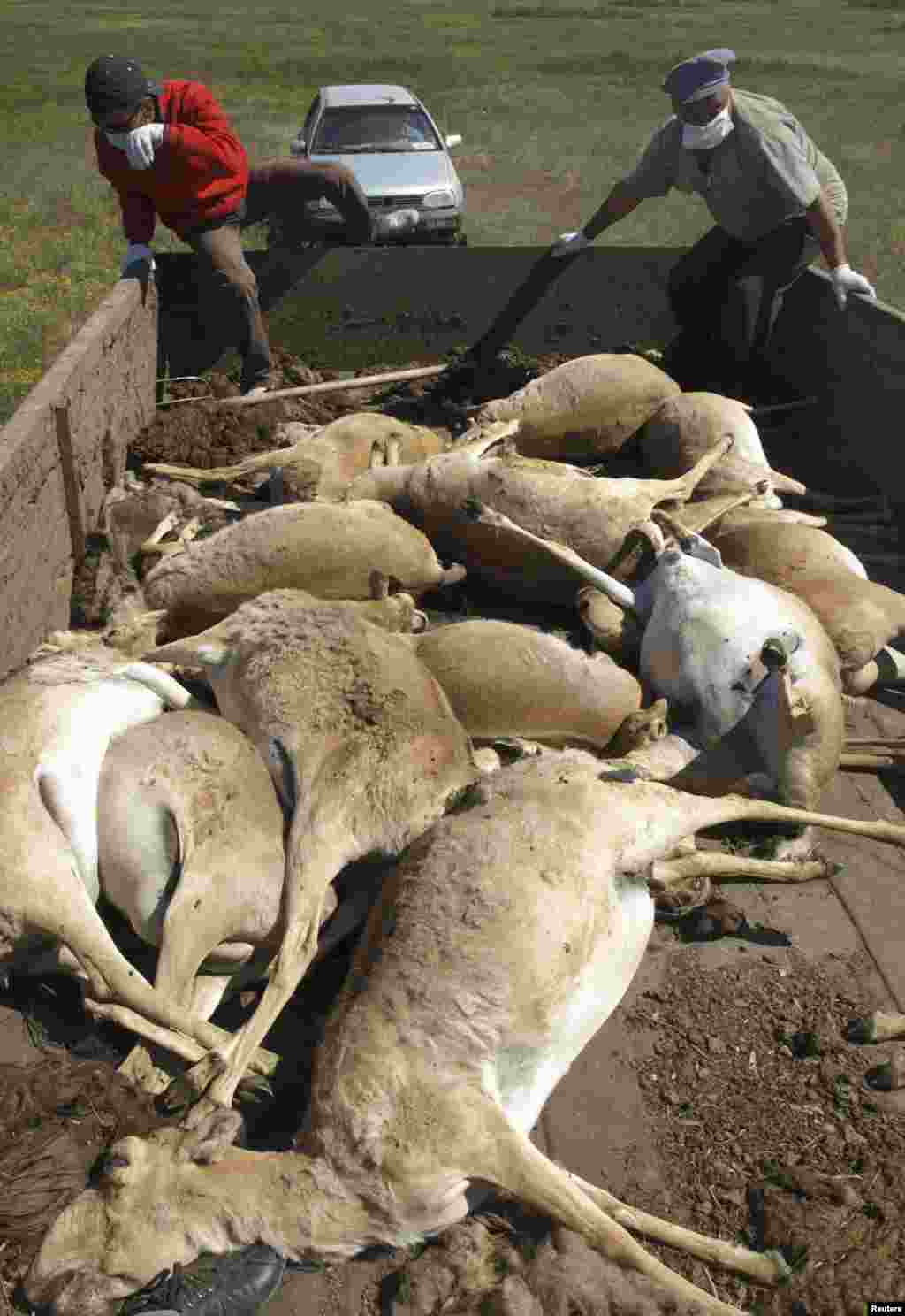 Men load a trailer with the carcasses of dead saiga in May 2010.