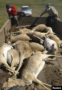 The saiga carcasses are hauled away.