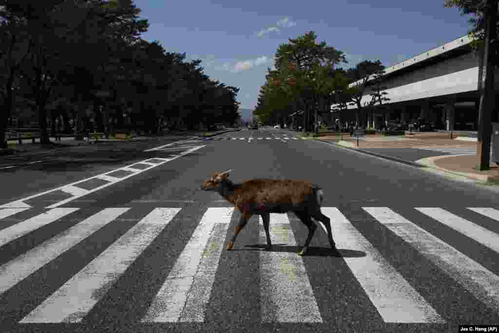A wild deer inadvertently does an imitation of The Beatles' Abbey Road album cover at a pedestrian crossing in Nara, Japan on March 19. More than 1,000 deer are roaming free in Japan's ancient capital city. Despite the town's tourism decline, these wild animals are doing just fine without treats from tourists, according to a deer protection group.