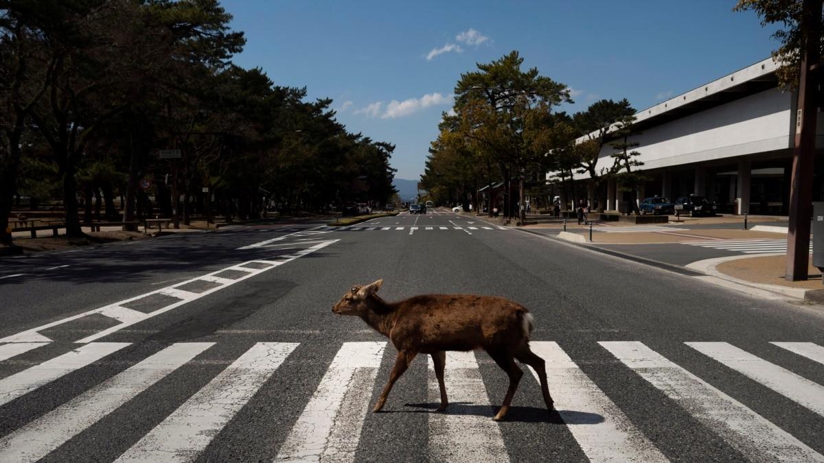 Животные свободно разгуливают по городам, безлюдными через коронавірусний карантин