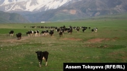 Пастухи гонят стадо коров.
