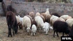 Ոչխարաբուծական ֆերմա Հայաստանում, արխիվ