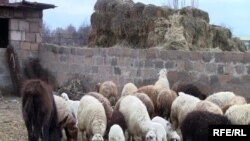 Armenia -- A flock of sheep on a farm in Zvartnots village, January 27, 2010.