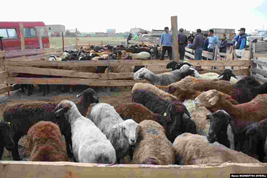 Sheep are corralled before the ritual slaughter in Astana, Kazakhstan.