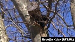 Platani, foto: Nebojša Kolak