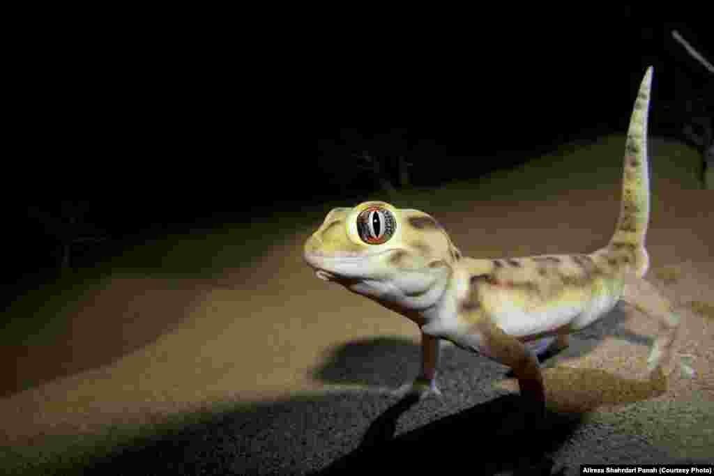 نام علمی: Teratoscincus microlepis، نام فارسی: گکوی دم پخ بلوچی، نام انگليسی: Baluch Plate-tailed Gecko، پراکندگی در ايران:استان های سيستان و بلوچستان، خراسان جنوبی و کرمان