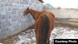 Лошади на ферме, где работает Алшынбек Умаров. Алматинская область, 19 января 2016 года.