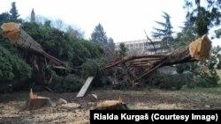 Posječena stabla čempresa u Baru