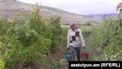 Խաղողագործ գյուղացի Հայաստանում, արխիվ
